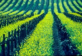 USA, Kalifornien, Napa Valley Stags Leap, Senfgras (1994)