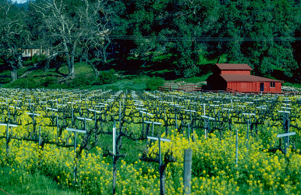 USA, Kalifornien, Napa Valley, Senfgras (1994)