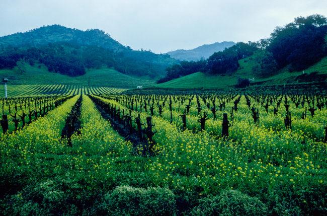 USA, Kalifornien, Napa Valley, Senfgras (1994)
