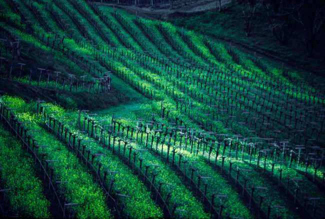 USA, Kalifornien, Sonoma, Russian River, Pinot Noir Weinberg (1999)