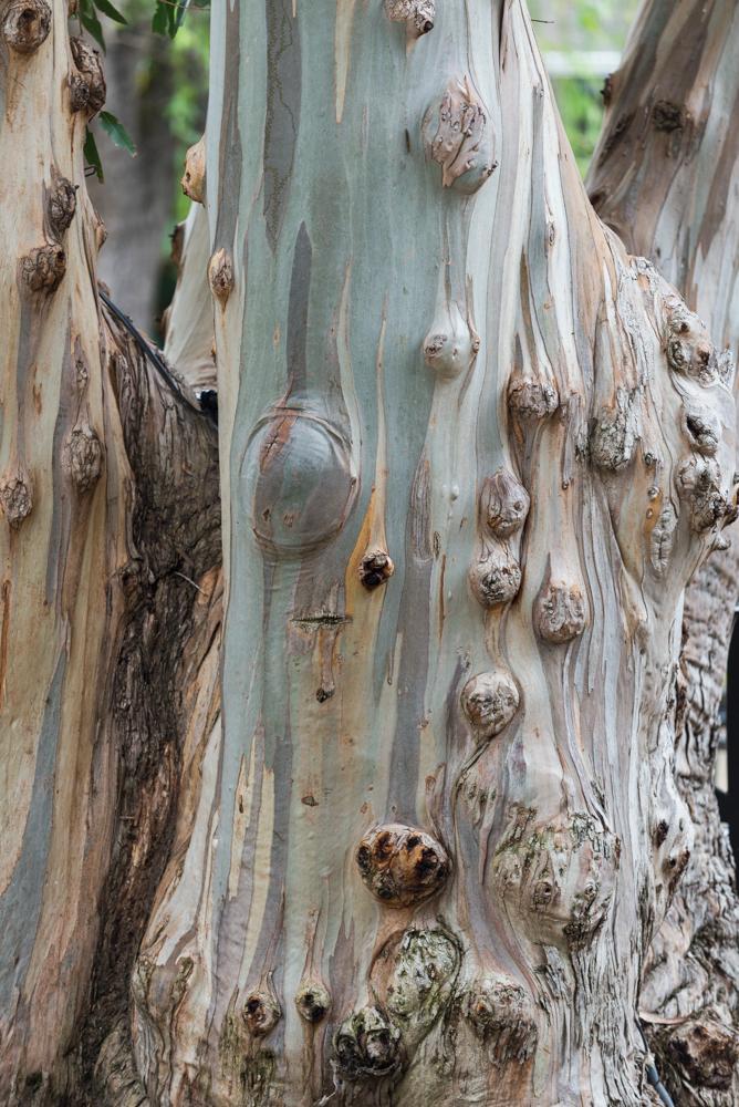 USA, Kalifornien, Sonoma Carneros, Eukalyptus bei Cline Cellars (2016)