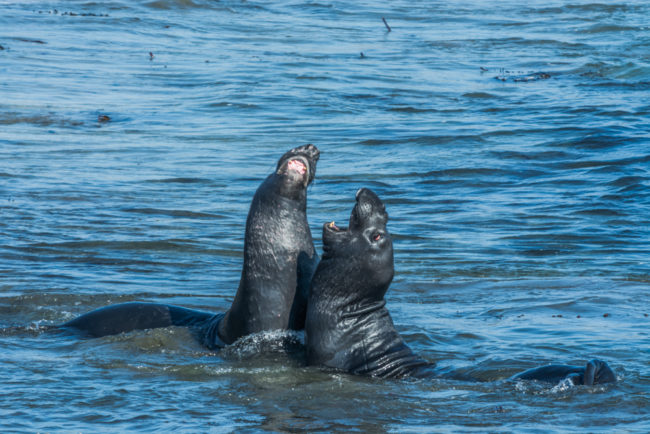 USA, Kalifornien, San Simeon, Piedras Blancas Sea Elephant Rockery, kämpfende Seeelefanten (2016)