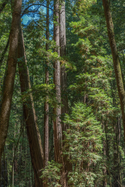 USA, Kalifornien, Russian River Valley, Armstrong Redwoods State Park (2016)