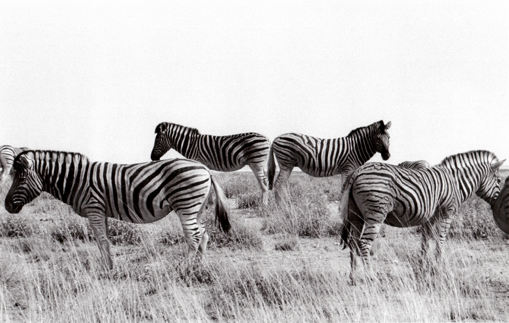Namibia, Etosha-Pfanne, Zebras (1978) / Namibia, Etosha pan, zebras (1978)