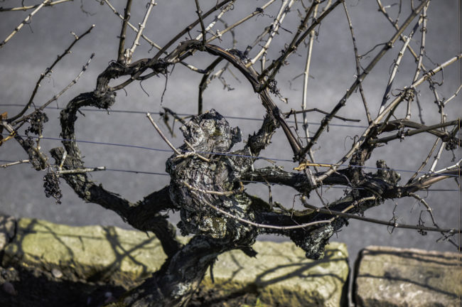Deutschland, Rhodt unter Rietburg, Pfalz, älteste Reben, Gewürztraminer gepflanzt vor 1640/1618 (2015)