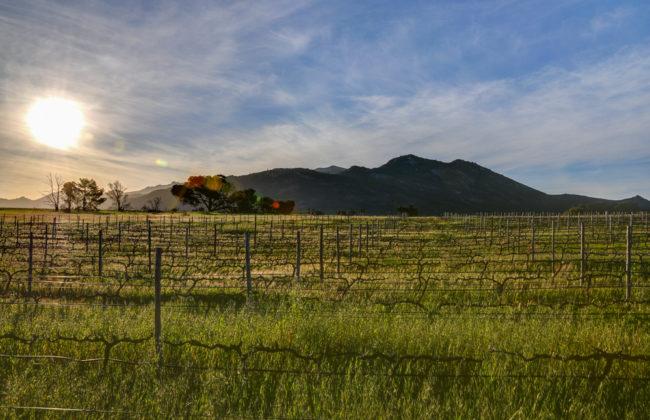 Südafrika, Perdeberg, Rebzeilen von Scali winery (2012)