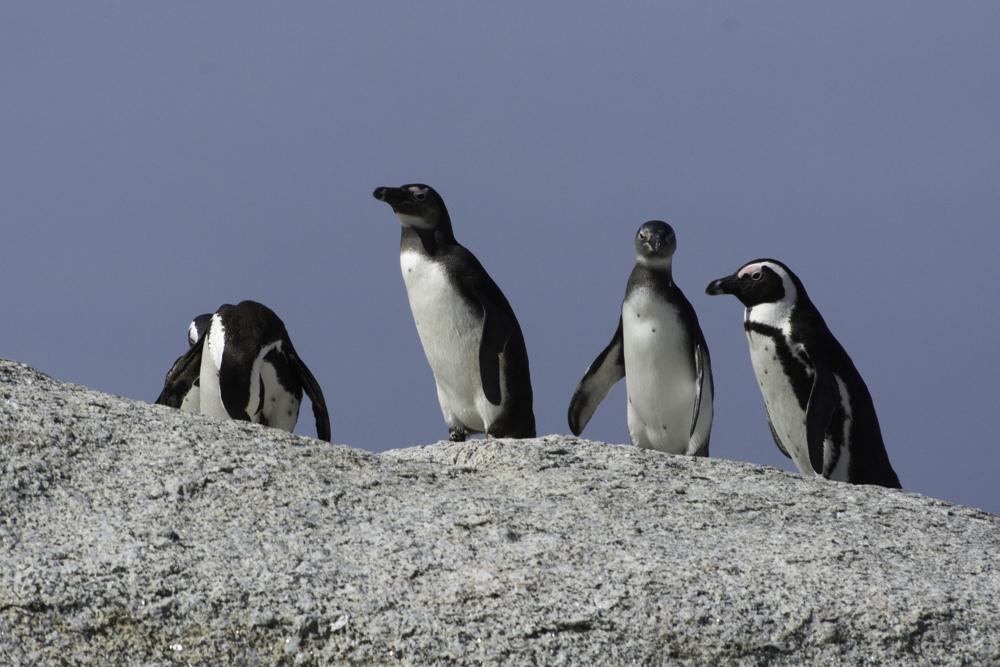 Südafrika, Western Cape, Simon's Town, Brillenpinguine, African penguins (2014)