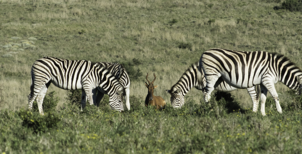Südafrika, Eastern Cape, Addo Elephant Park, grasende Zebras und Kuhantilope (2014)