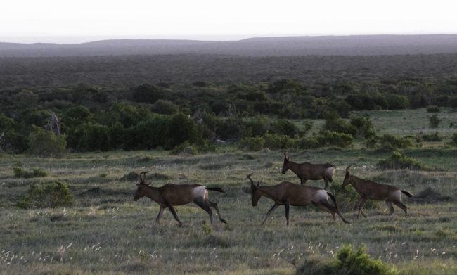 Südafrika, Eastern Cape, Addo Elephant Park, Kuhantilopen im Lauf (2014)