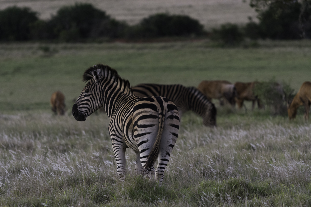 Südafrika, Eastern Cape, Addo Elephant Park, Zebras und Kuhantilopen (2014)