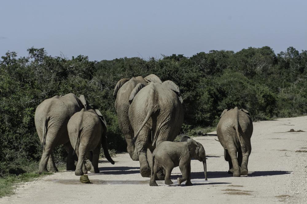 Südafrika, Eastern Cape, Addo Elephant Park, kleine Herde afrikanischer Elefanten (2014)