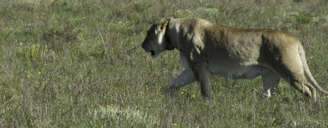 Südafrika, Eastern Cape, Addo Elephant Park, Löwin auf der Pirsch (2014)
