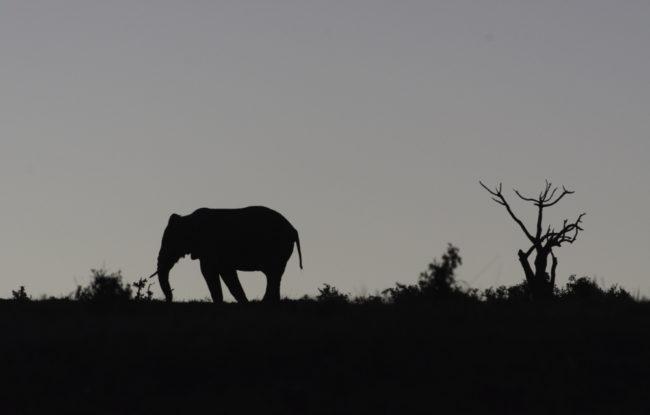 Südafrika, Eastern Cape, Addo Elephant Park, Afrikanischer Elefant am Abend (2014)