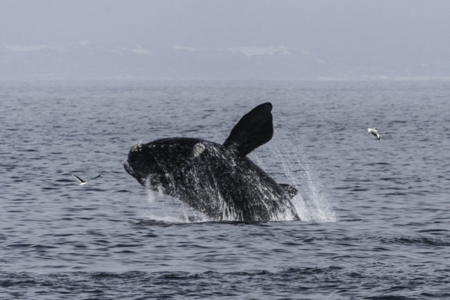 Südafrika, Hermanus, springende Südkaper, Southern Right Whales (2014)