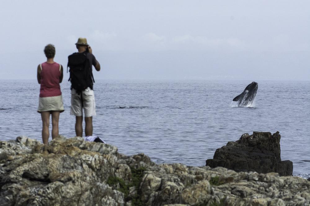 Südafrika, Hermanus, springende Südkaper, Southern Right Whales, whale spotting (2014)