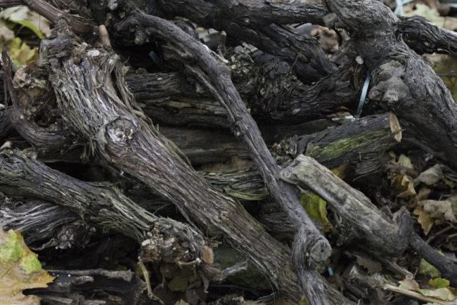 Deutschland, Rheinland-Pfalz, Mosel, Alte Reben Holz von ausgerissenen alten Reben (Riesling) auf dem Graacher Himmelreich (2014)