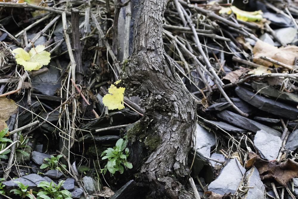 Deutschland, Rheinland-Pfalz, Mosel, Alte Reben (Riesling auf Schiefer) im Kröver Paradies, Weingut Müllen (2014)