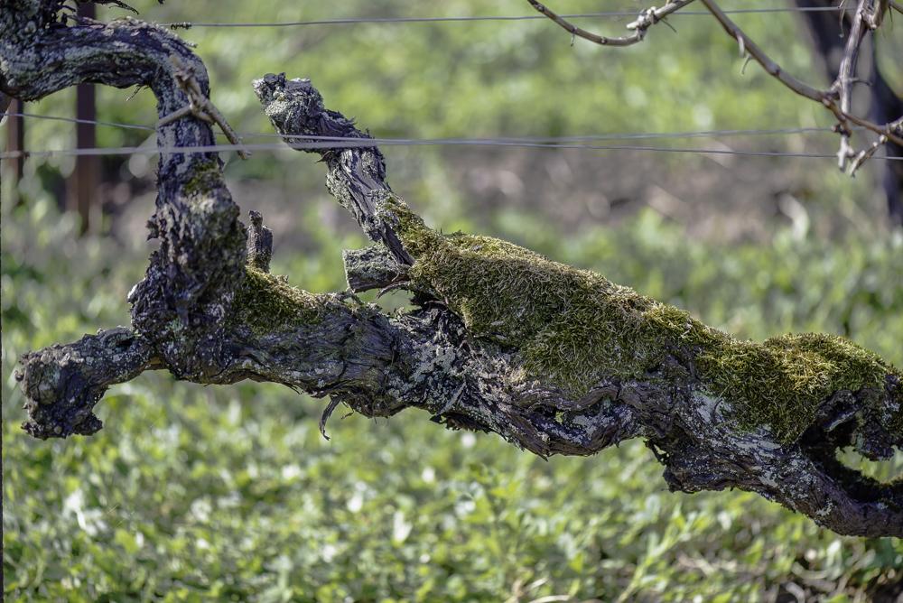 Deutschland, Rhodt unter Rietburg, Pfalz, Älteste Reben Deutschlands, Gewürztraminer gepflanzt vor 1618, Weingut Oberhofer (2015)