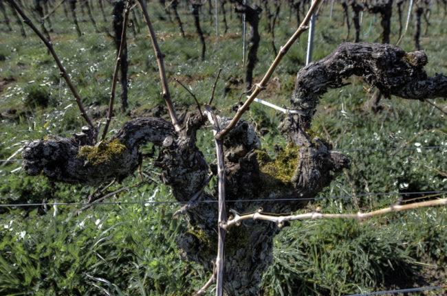 Deutschland, Rhodt unter Rietburg, Pfalz, Älteste Reben Deutschlands, Gewürztraminer gepflanzt vor 16/401618, Weingut Oberhofer (2015)