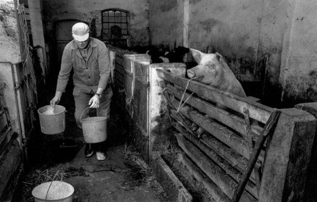 Deutschland, Gifhorn, Bauer im Schweinestall (1982)
