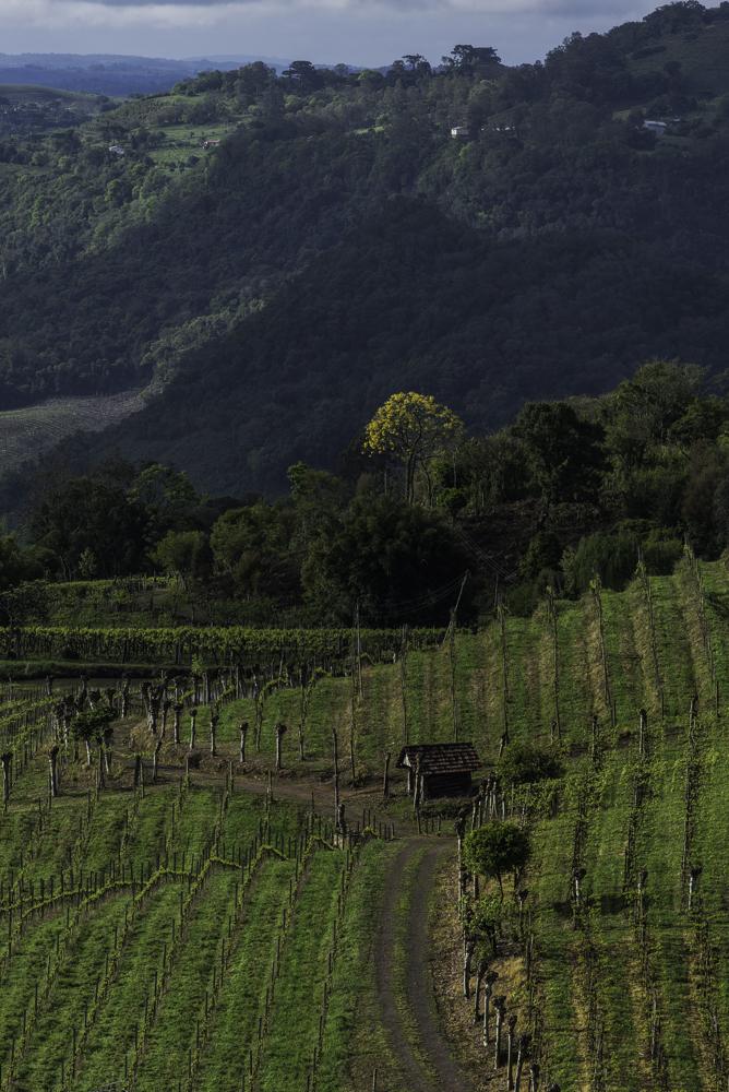 Brasilien, Rio Grande do Sul, Vale dos Vinhedos - Weinberge von Miolo (2013)
