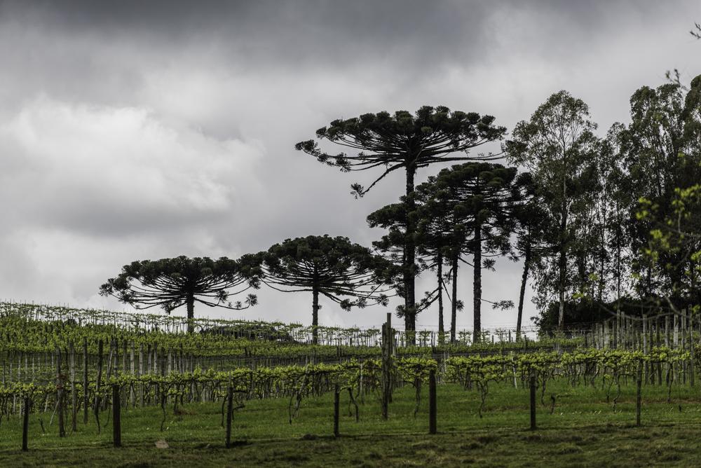 Brasilien, Rio Grande do Sul, Pinta Bandeira - Weinberge von Don Giovanni Winery, Arraucariabäume (2013)