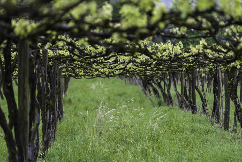 Brasilien, Rio Grande do Sul, Pinta Bandeira - Weinberge von Don Giovanni Winery, Pergeln mit Isabellarebe (2013)