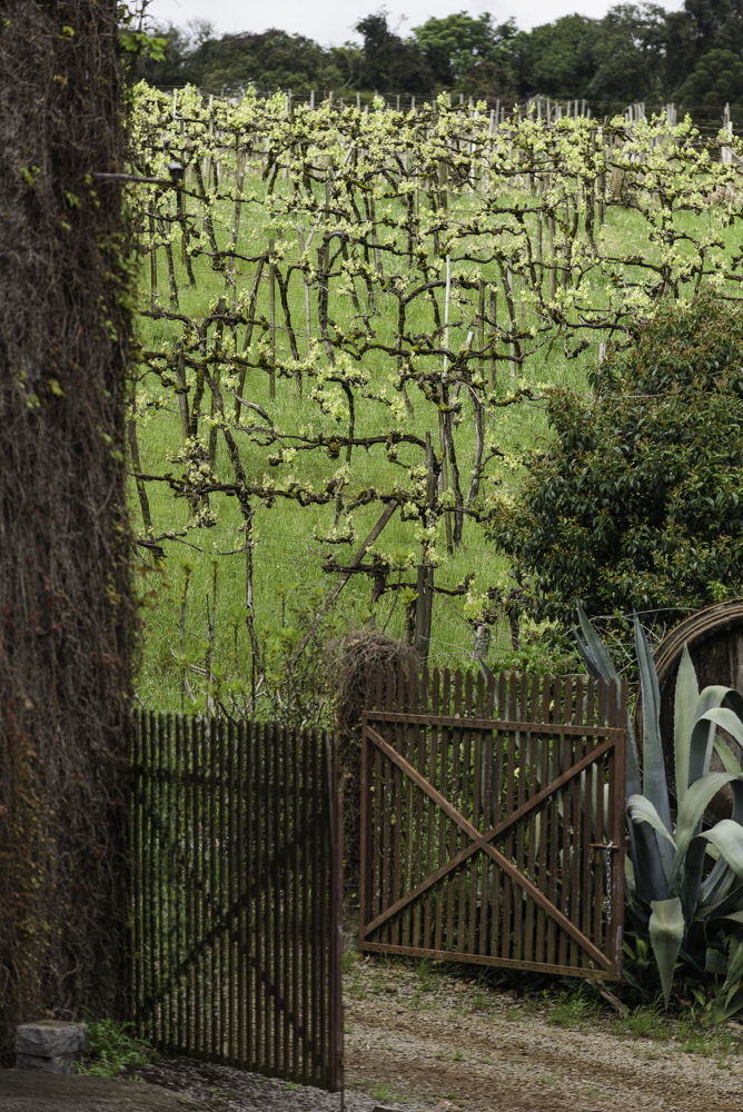 Brasilien, Rio Grande do Sul, Pinta Bandeira - Rebstöcke von Don Giovanni Winery (2013)