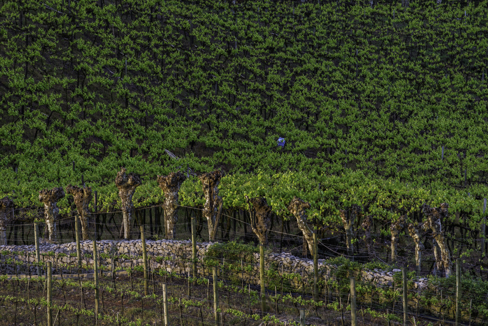Brasilien, Rio Grande do Sul, Vale dos Vinhedos - Alte Weinberge mit Amerikanerreben (2013)