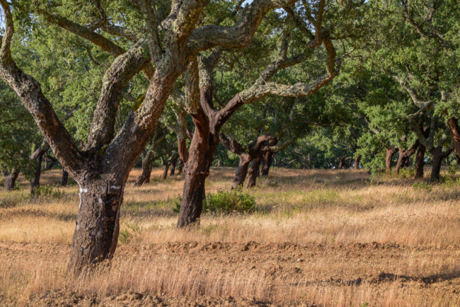 Portugal - Alentejo - Korkeichenwälder (2015)
